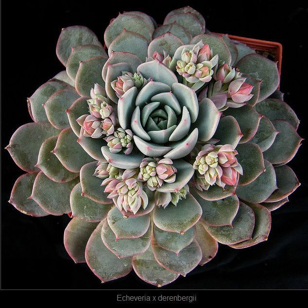 rings to buy online echeveria x derenbergii