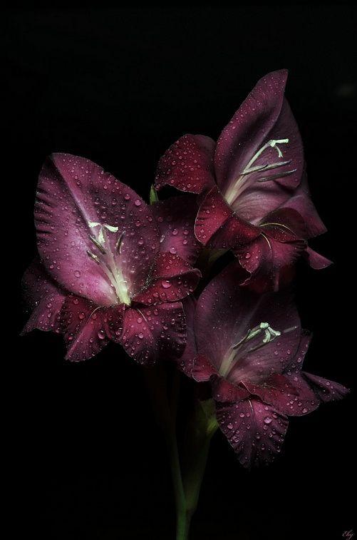Deep Wine Gladiolus