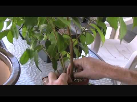 ▶ Beginner Ficus - YouTube