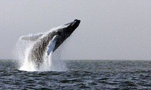 Rare sighting of humpback whale breaching in Irish sea caught on camera | Daily Mail Online