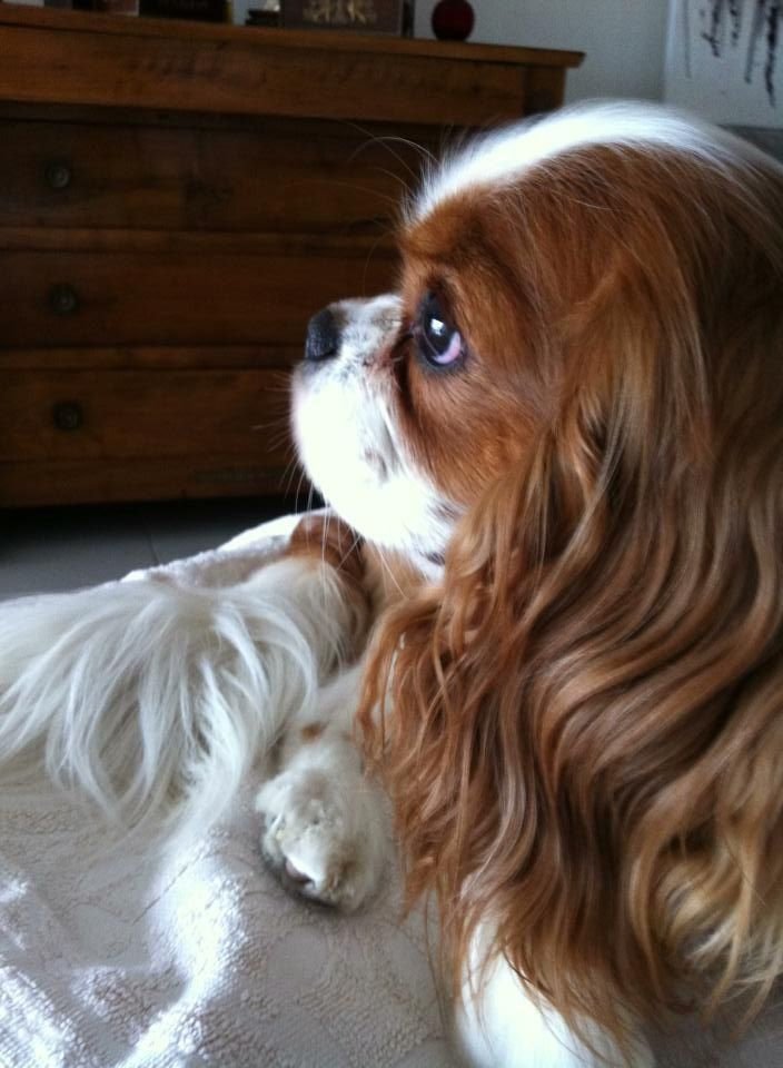 Most Inspiring Charles Spaniel Brown Adorable Dog - c52bc08b9ef516e163a7979a4ead98e7--spaniel-puppies-pet-dogs  Collection_11438  .jpg