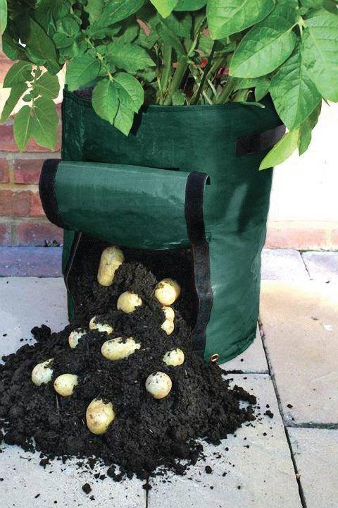 Extraordinary bag gardening for potatoes