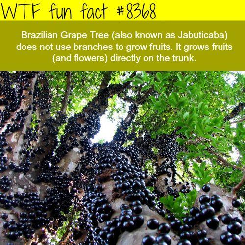 Brazilian Grape Tree - WTF fun facts