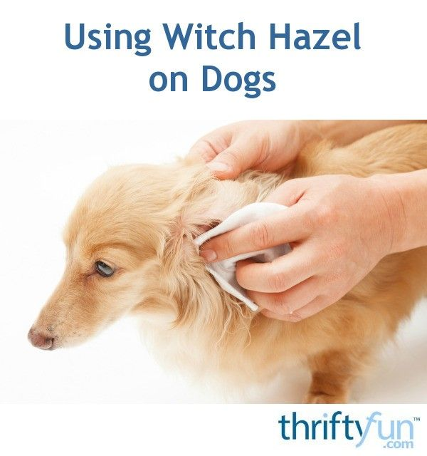 Witch hazel can be used to treat your dog's itchy skin or paws. This is a guide about using witch hazel on dogs.