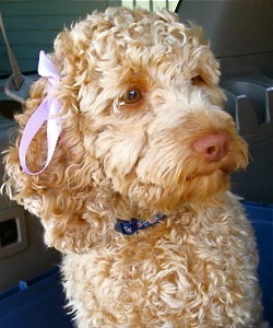 """""""Ginger""""   Multi-Generation   Australian Labradoodle  Height 16 in.  Weight  22 lbs.  Color: Caramel  Size: Mini  Darby Park Doodles"""
