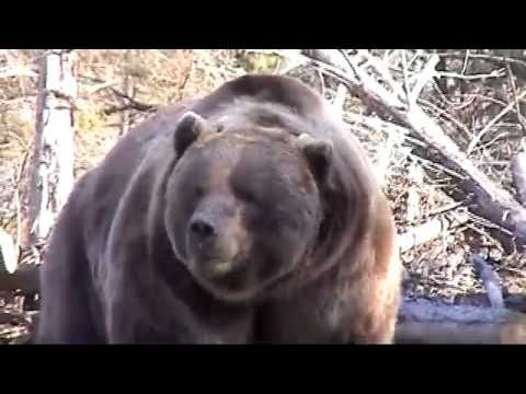 Huge Grizzly Bear Attacks Workers, Who Should Have Stayed In the Truck! [VIDEO] - Wide Open Spaces