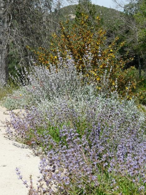 Myths About California Native Plants. Use sprinklers not drip irrigation... really, who'd have guessed that?