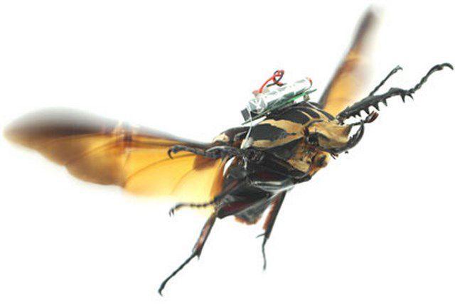 Insecte cyborg : un coléoptère transformé en drone