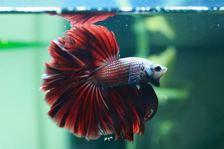 31 best pretty fish images on pinterest exotic fish for What type of water do betta fish need