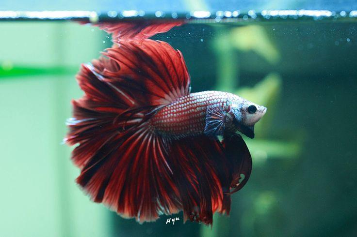 Betta fish delta tail google search betta fish and for Red betta fish