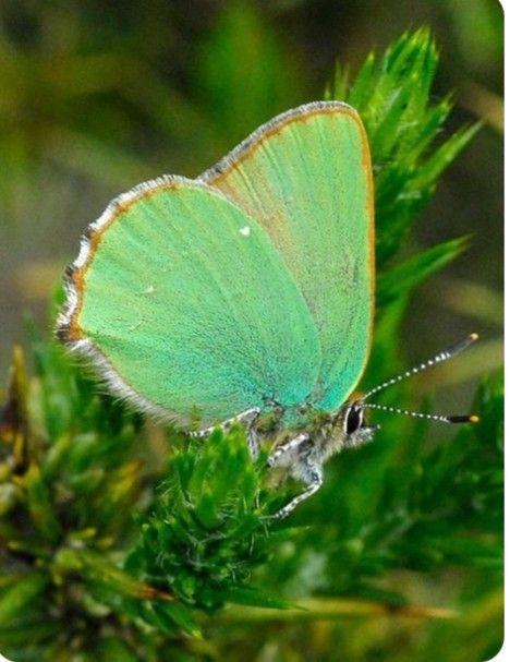 Pin Von Monica Holst Karall Auf Butterflies Schmetterling Schmetterling Bilder Schone Schmetterlinge