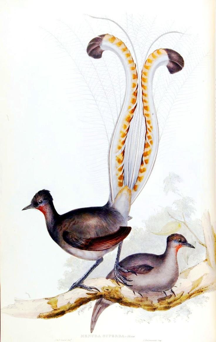 Lyre Bird - Alpha Chi Omega | pretty little lyres ...