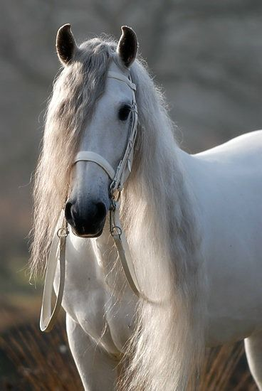 Beautiful white horse with a long mane - Portfolio Paardenfoto's « Hypo Focus Paardenfotografie