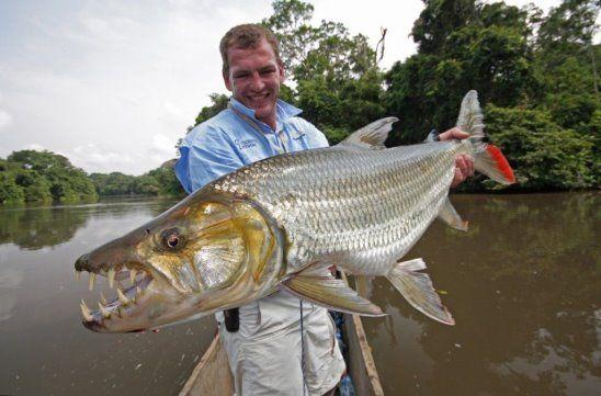 Тигровая рыба Голиаф – самая страшная из пресноводных рыб в мире.