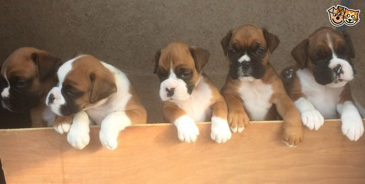 Stunning litter of red and white boxers | Waltham Abbey, Essex | Pets4Homes