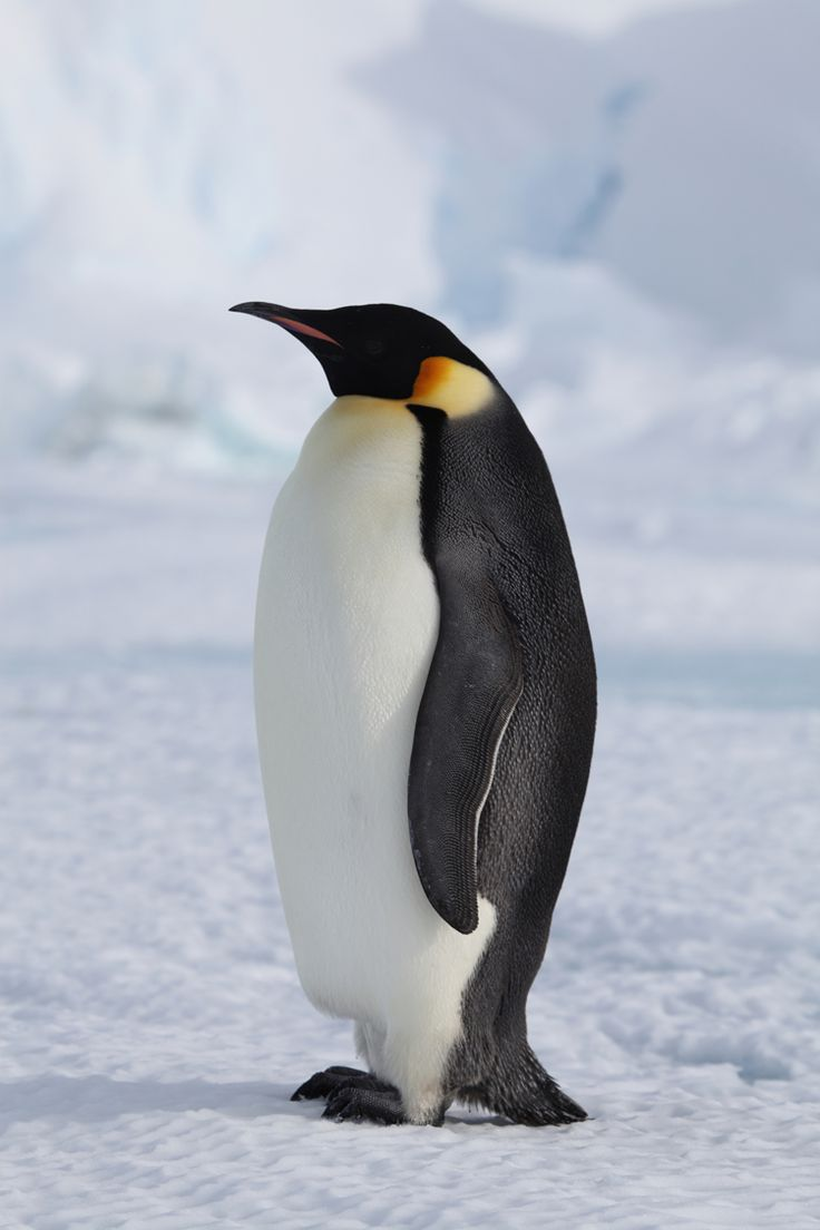 Melting sea ice trouble for Emperor penguins