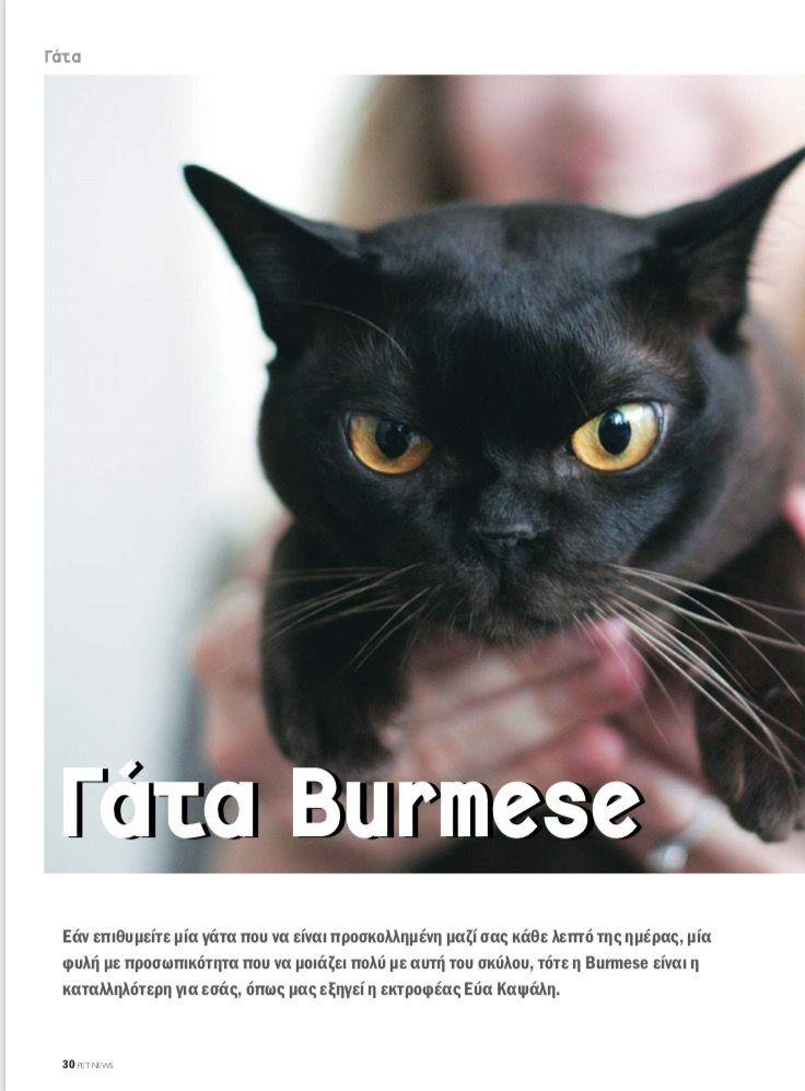 🐆🐆🐆GR*Silky Sense Cattery 🐆🐆🐆  #burmesecatsgreece #interview #burmesecatsaregreat #onceaburmesealwaysaburmese ❤️❤️❤️