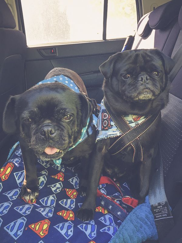 5 Things to Consider Before Adopting a Rescue Pug http://www.thepugdiary.com/5-things-consider-adopting-rescue-pug/