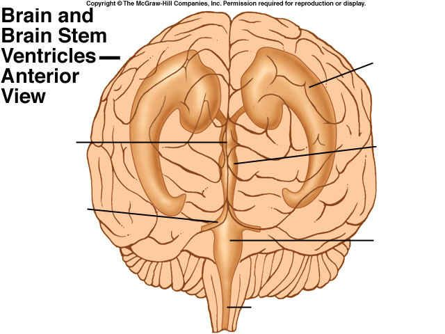 17 Best images about Ventricles on Pinterest | Horns, The ...