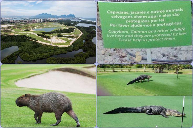 Rio 2016: Olympics Golf [O Globo] ➤ http://oglobo.globo.com/rio/animais-roubam-cena-no-campo-de-golfe-olimpico-19916984 ②⓪①⑥ ⓪⑧ ①④ #RiodeJaneiro