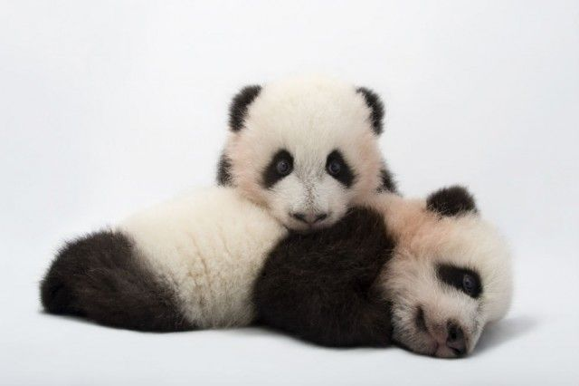 Slideshow: National Geographic Lensman Gets Up Close and Personal with Asia's Endangered Animals | Asia Society. Mei Lun and Mei Huan, the twin giant panda cubs (Ailuropoda melanoleuca) at Zoo Atlanta. (Joel Sartore Photography)