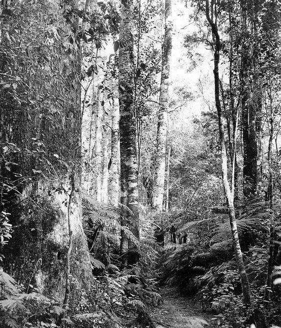 In the Knysna Forest (1957) | Flickr - Photo Sharing!