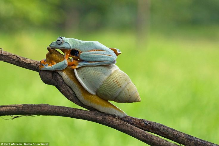 Lazy Frog Hitches A Ride On The Back Of A Snail Ranas Criatura