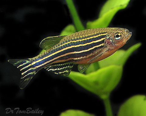 58 best danio zebra tag images on pinterest aquariums
