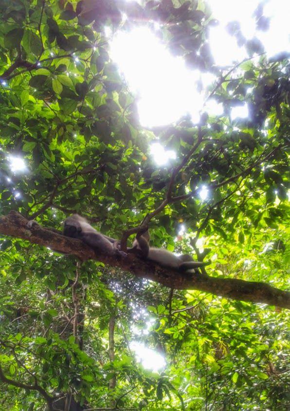 Monkeys lounging on a branch, Sacred Monkey Forest, Ubud