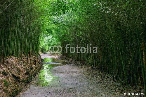 The walkway road of fresh green bamboo plants leading into a tropical garden, horizon perspective, with reflection in water puddle, tropical Azores islands, Portugal.