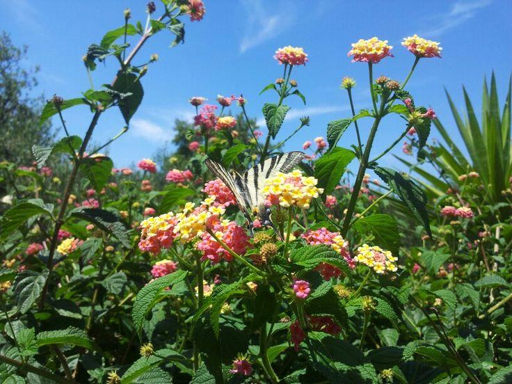 Wandelröschen auf der Insel Korcula
