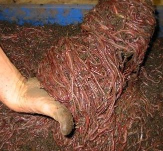 Professional Worm Growing Secrets // George Mingin is the owner of Kookaburra Worm Farms, one of the largest worm farming operations in Australia. His most recent production figures were in the range of 12 tons of composting worms per year.
