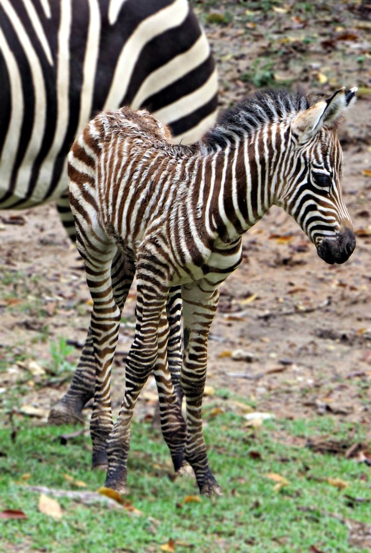 See video of this newborn Grant's Zebra foal taking his first steps at the Fort Worth Zoo on ZooBorns.com and at http://www.zooborns.com/zooborns/2017/09/zebra-foal-takes-first-steps-at-fort-worth-zoo.html