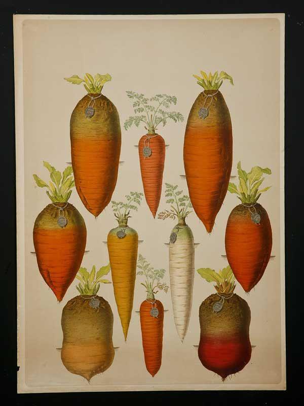 Antique vintage carrot gravure botanical science print par metroart