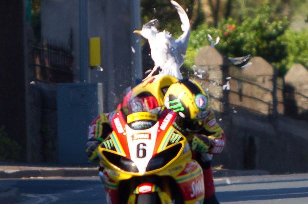 May 2012 - Isle of Man TT champion Ian Hutchinson was involved in a 170mph scare during qualifying for the famous road race. The gull ended up with a broken wing but was treated by a vet - the Yamaha had some minor bodywork damage :)