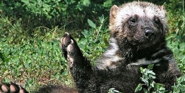 Ask Highway Authority To Limit Human Traffic in Wyoming Wolverines & Wildlife Habitats - http://www.thepetitionsite.com/484/166/340/ask-highway-authority-to-limit-human-traffic-in-wyoming-wolverines-wildlife-habitats/