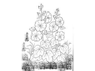 Мальва фото цветов