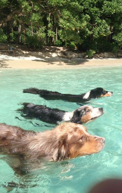 Swimming Australian Shepherds