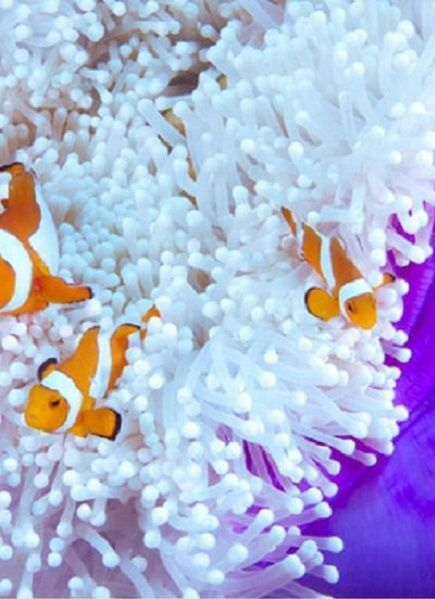 #clownfish and #anemone