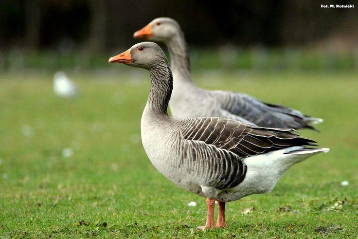 Gęś gęgawa,Greylag goose(Anser anser)..02/2017..