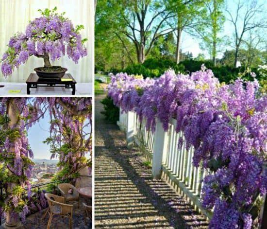 Grow Wisteria In A Pot Howtogrowagarden Wisteria How To Grow Planting Flowers Wisteria Plant