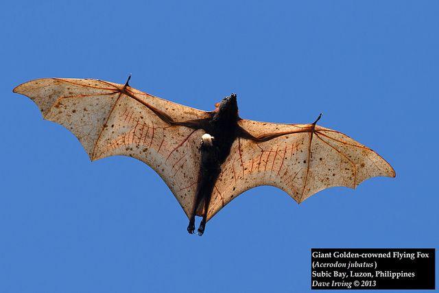 Giant Flying Fox Bat | Giant Golden-crowned Flying Fox ...