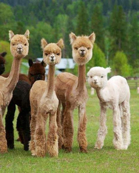 OMG!! look its a group of llamas trying to moch some POODLES!! hahahaha #LOLSOTRUE
