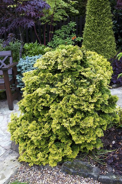 Find This Pin And More On Conifers Evergreen Gardens By Eileendonat.