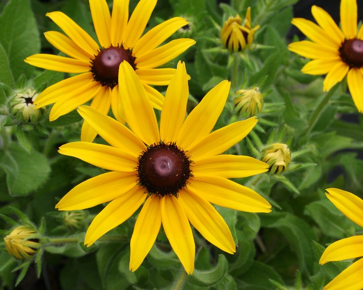 Rudbeckia Hirta Indian Have Pinterest Black Eyed Susan Perennials And Flowers