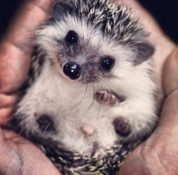 Aww.. my friends hedgehog # hedgehog