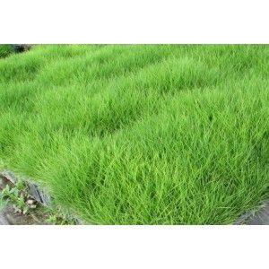 Zoysia tenuifolia