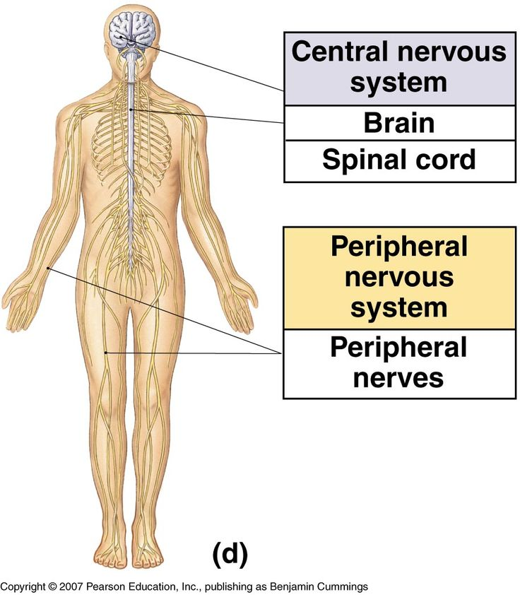 c536752404dbd4d53862e5995f708e15  central nervous system