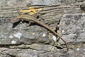 A wall lizard, a non-native reptile species that was introduced on the Boscombe Cliffs in Dorset, UK