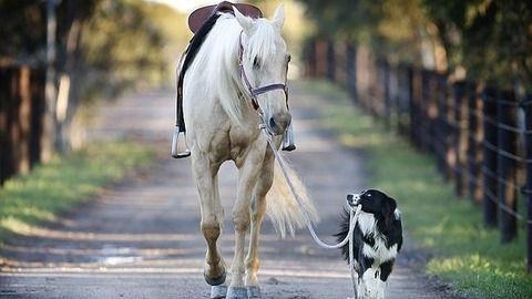馬を訓練するボーダーコリー 今日は、馬を訓練する犬「ヒーカン」ちゃんヒーカンは英語では、Hekan、 「つまり何でも出来る」 という意味の He can do anythingの省略形です。 オーストラリアなので、ヒーキャンではなく、ヒーカン。